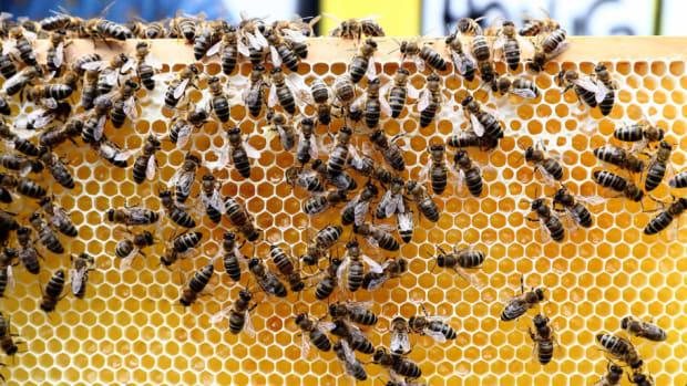 fc-st-pauli-honey-bees-5cb43a032164c2e99300000c.jpg