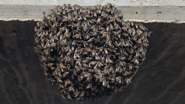monday-hot-clicks-corpus-christi-hooks-bee-swarm-delay-photos.jpg