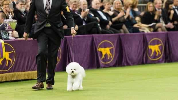westminster-dog-show-bichon-frisee-winner.jpg