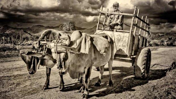 Ox-Cart-Getty.jpg