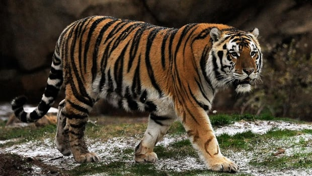 LSU plans to euthanize Mike the Tiger after tests show cancer spreading - IMAGE