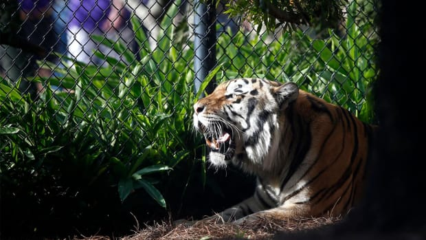 LSU's tiger mascot diagnosed with cancer - IMAGE