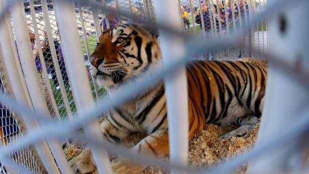 lsu-tiger-mike-cancer-diagnosed.jpg