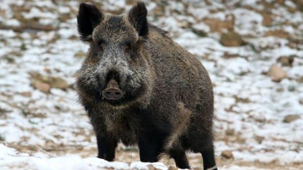 wild-boar-curling-video.jpg