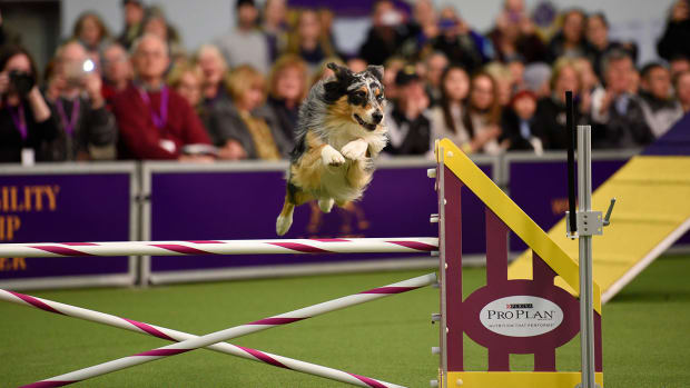 2016-Westminster-Kennel-Club-Dog-Show-X160227_TK1_0001.jpg
