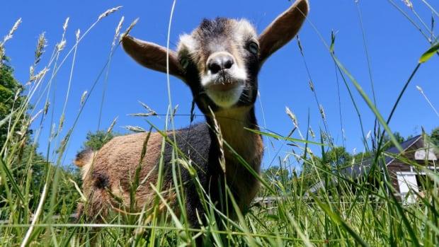 chicago-cubs-roast-goat.jpg
