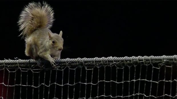 Squirrel goes nuts at a Phillies-Cardinals game, ends up in the dugout
