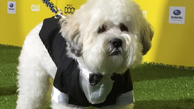 milwaukee brewers hank dog tuxedo photo