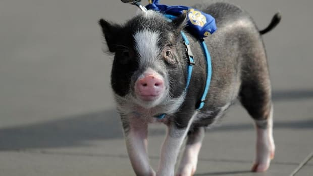 minor-league-pig-princess-night.jpg