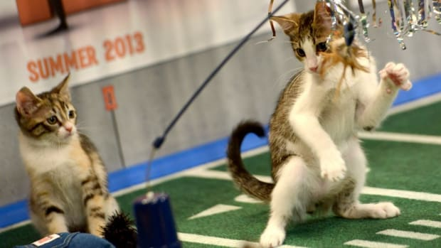 Kitten Bowl will have a Feline Football League this season
