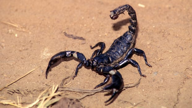 Oregon State men's basketball team's plane delayed by scorpion