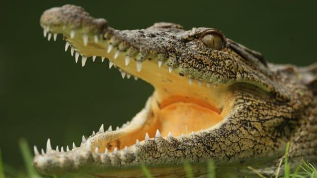 Crocodile attacks swimmer in Coral Gables, Florida