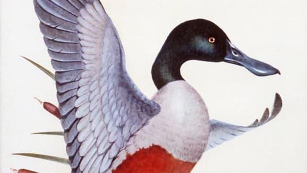 Shoveller Duck
