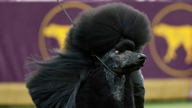 Siba the standard poodle