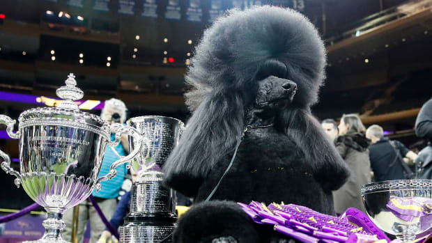 westminster dog show thumbnail