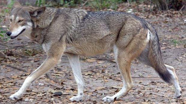 Red Wolf 1 Wikipedia
