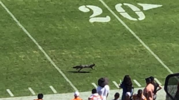 A fox running on the field at the Cotton Bowl.