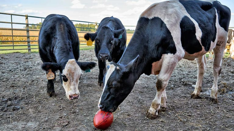 From Farm to Field, and Every Point Between: How a Cow Becomes a Football