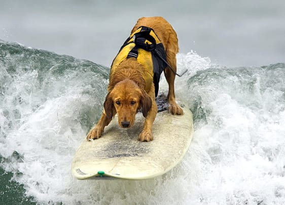 Golden-retriever-surfing.jpg