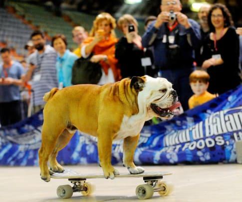Skateboarding-Bulldog.jpg
