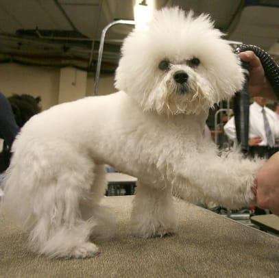 Lucy, a Bishon Frise