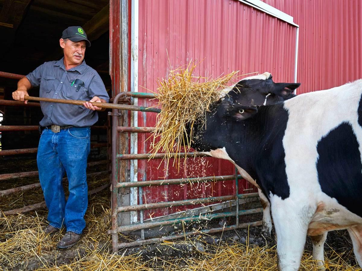 cow-eats-hay.jpg