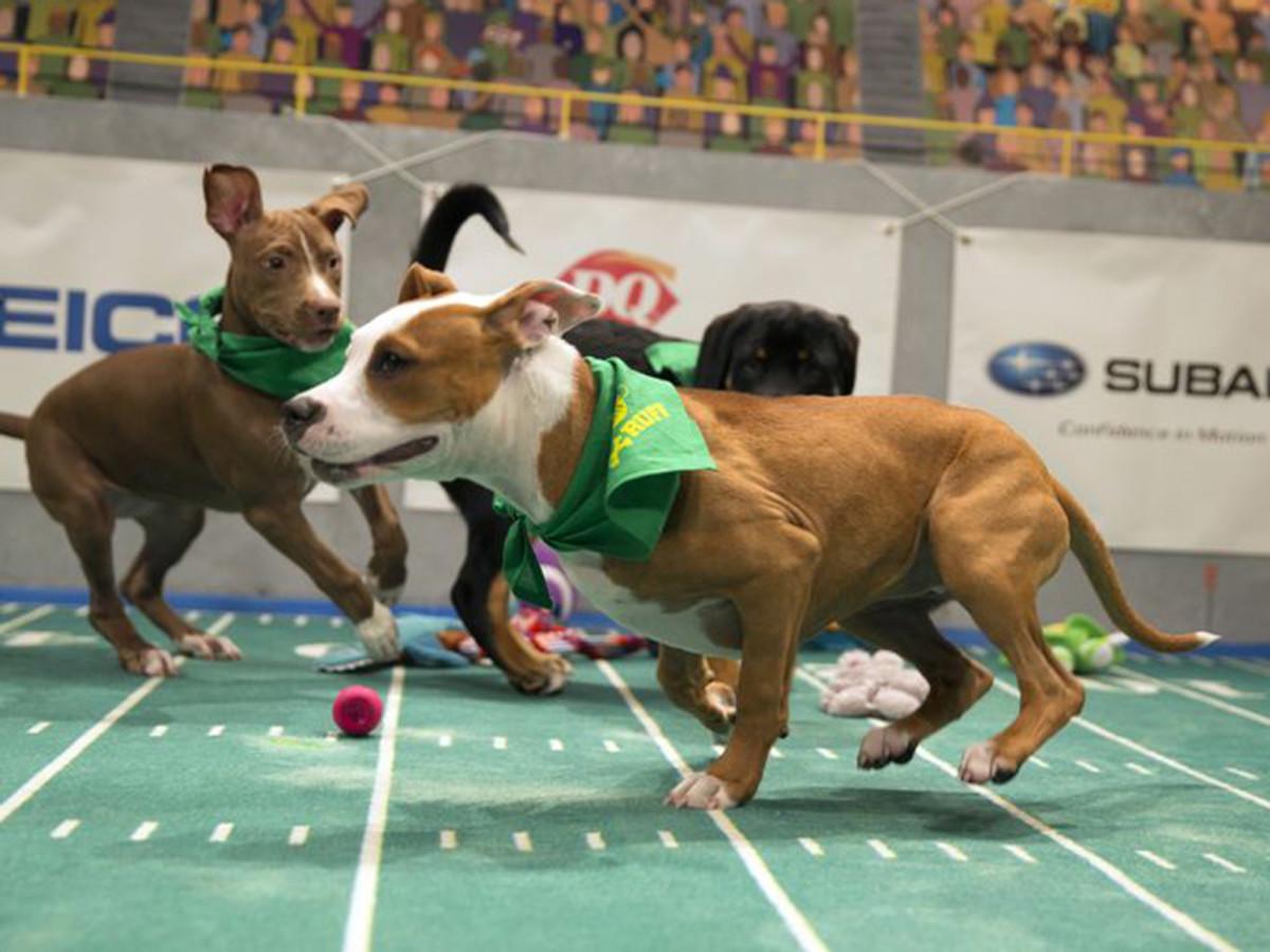 puppy_bowl_foster_bebop_daphne.jpg