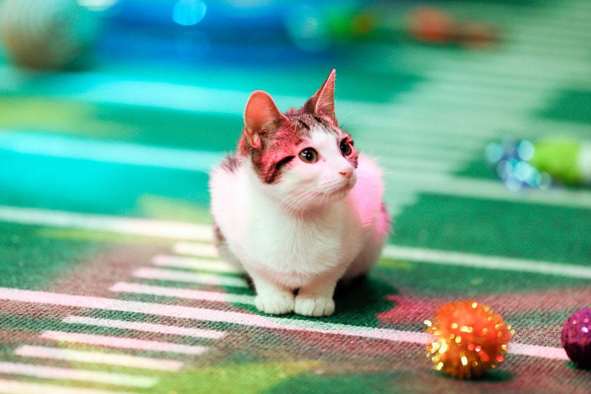 Puppy-Bowl-X-halftime-kitten.jpg