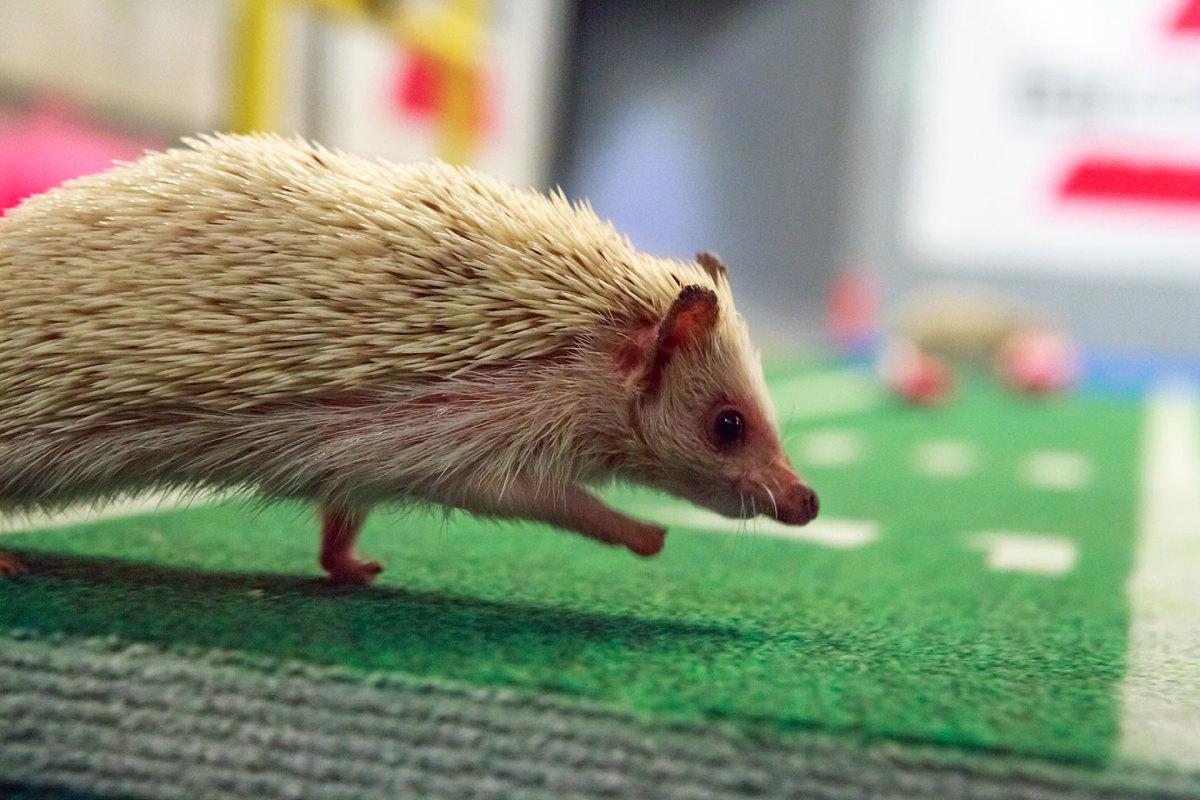 Puppy-Bowl-IX-hedgehog.jpg