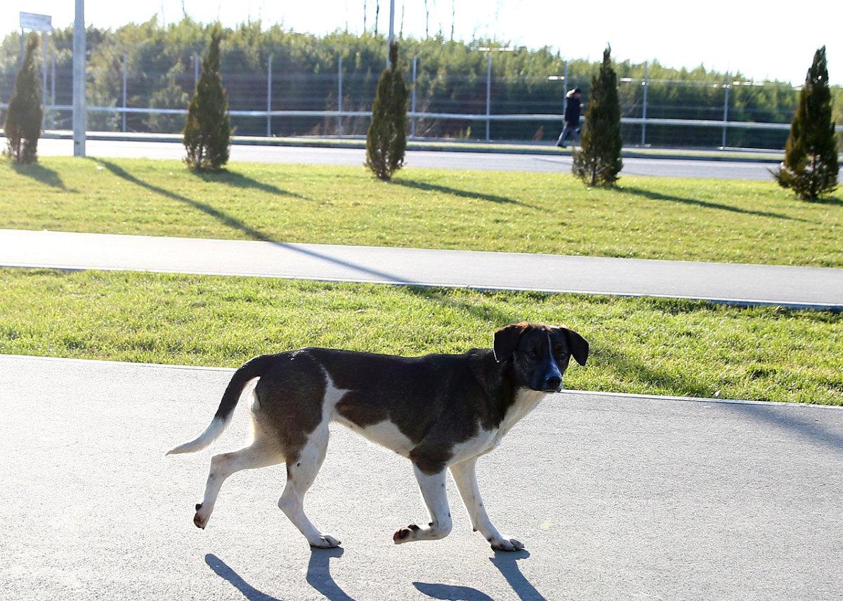 sochi-olympics-stray-dogs-466550293.jpg