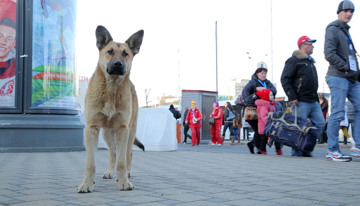 sochi-olympics-stray-dogs-collin-orcutt(2).jpg