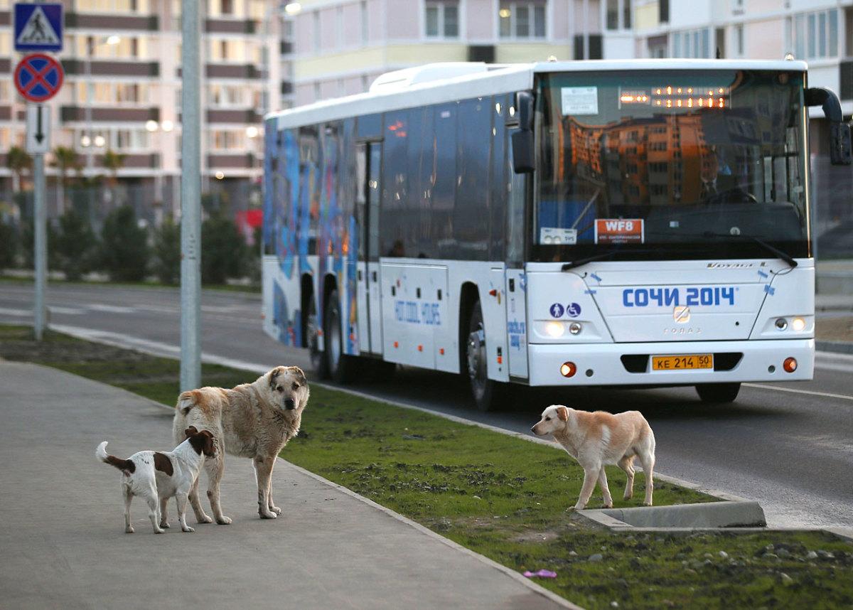 sochi-olympics-stray-dogs-467472833.jpg