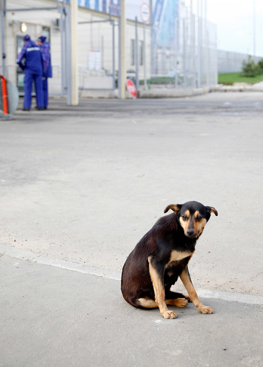 sochi-olympics-stray-dogs-466934291.jpg