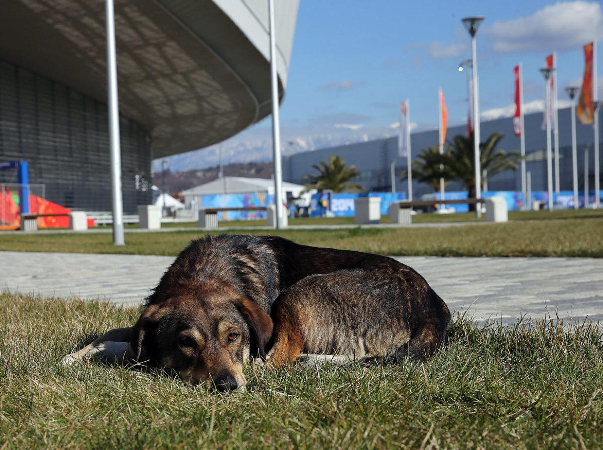 sochi-olympics-stray-dogs-467241769.jpg