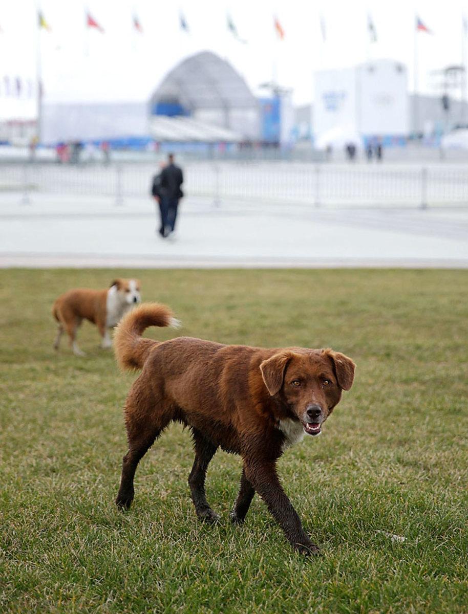 sochi-olympics-stray-dogs-468712181.jpg