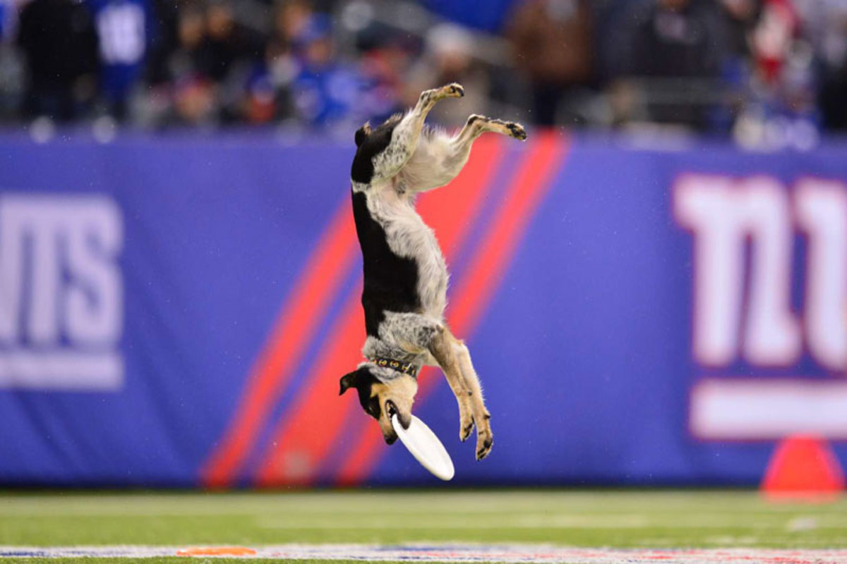 The dogs steals the show at Raiders-Giants in Week 10. (Carlos M. Saavedra)