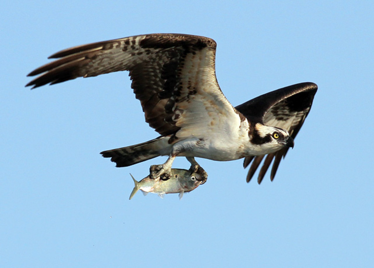 131011163208-022513-osprey-fish-single-image-cut.jpg