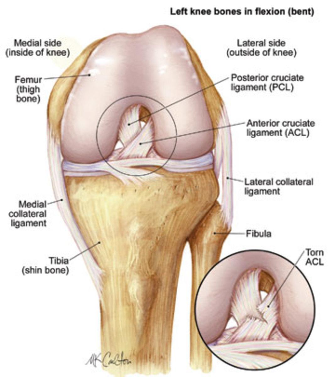 The anatomy of the knee.