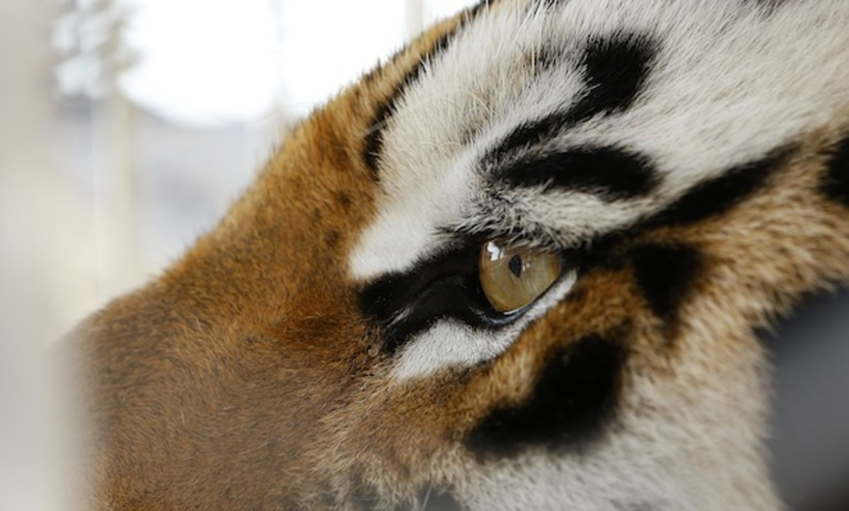 Mike the Tiger is seen here pondering all the chill Instagrams he'd be taking if only he had opposable thumbs. (AP)