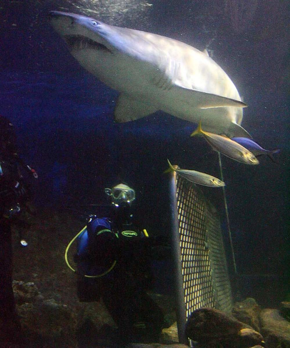 Shark diving experience