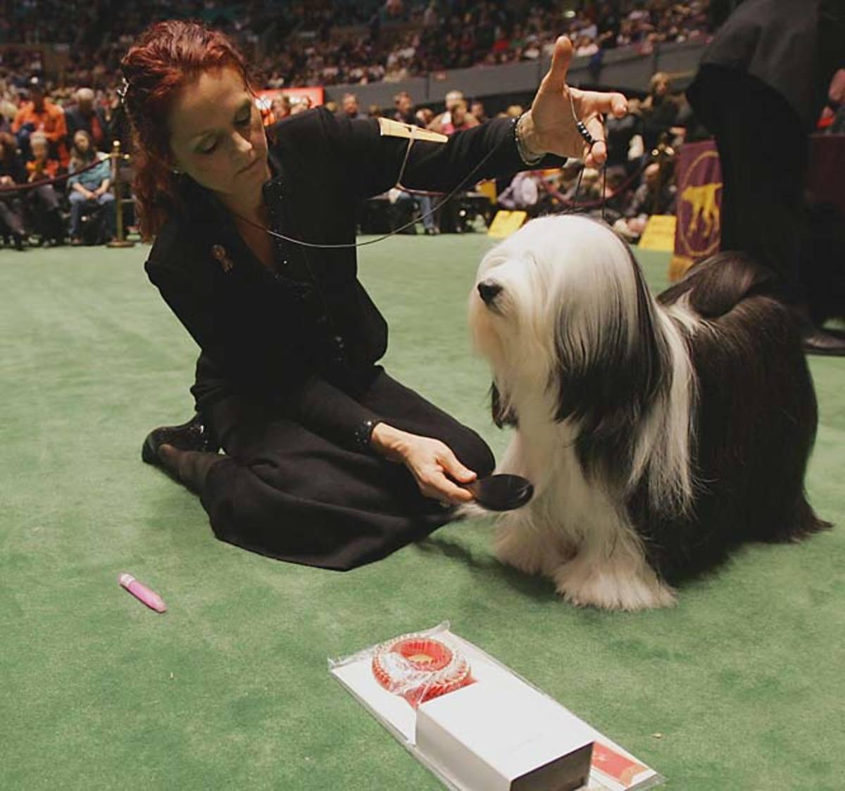 Maddie, a Tibetan Terrier