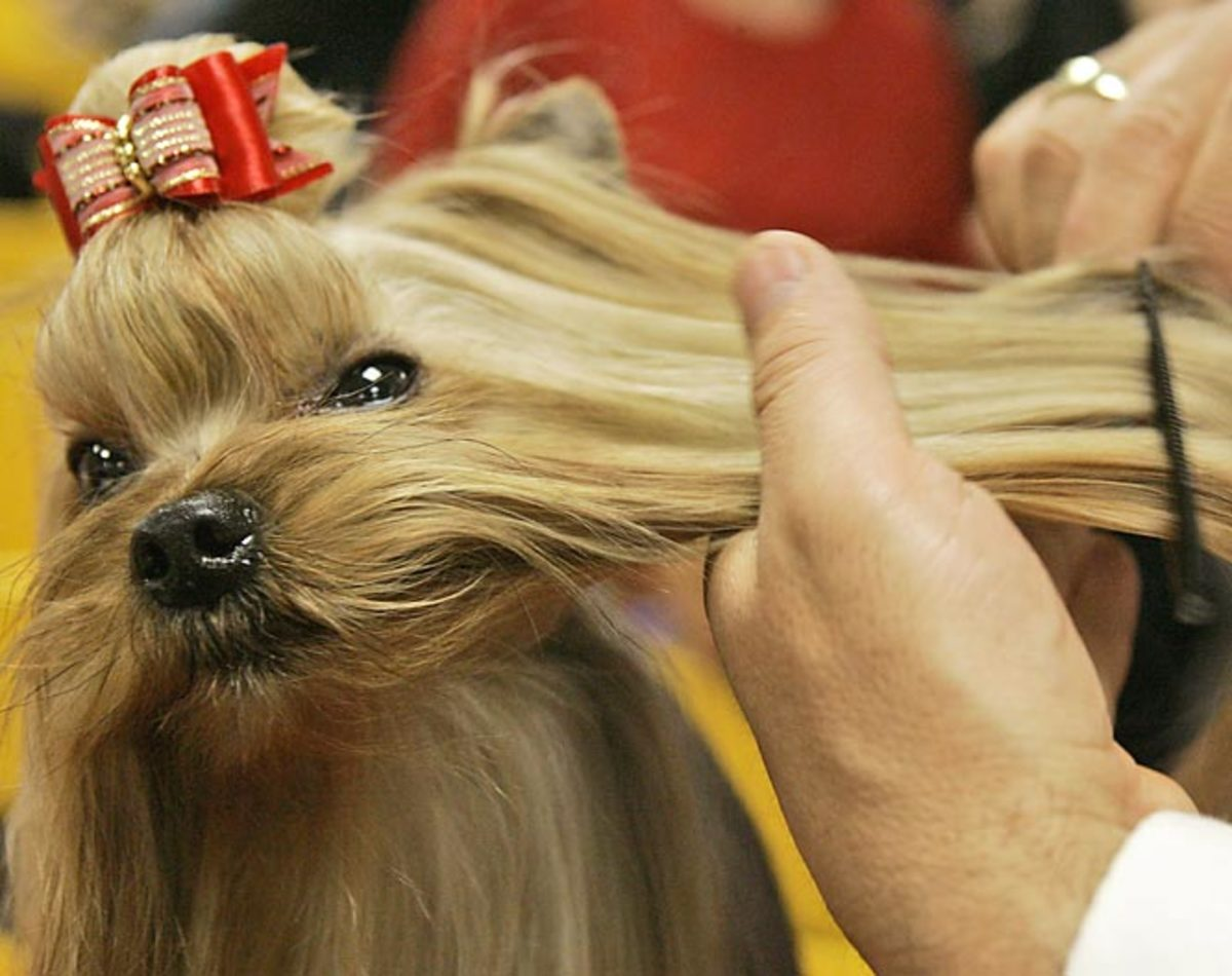 Guemart Limited Edition, a Yorkshire Terrier