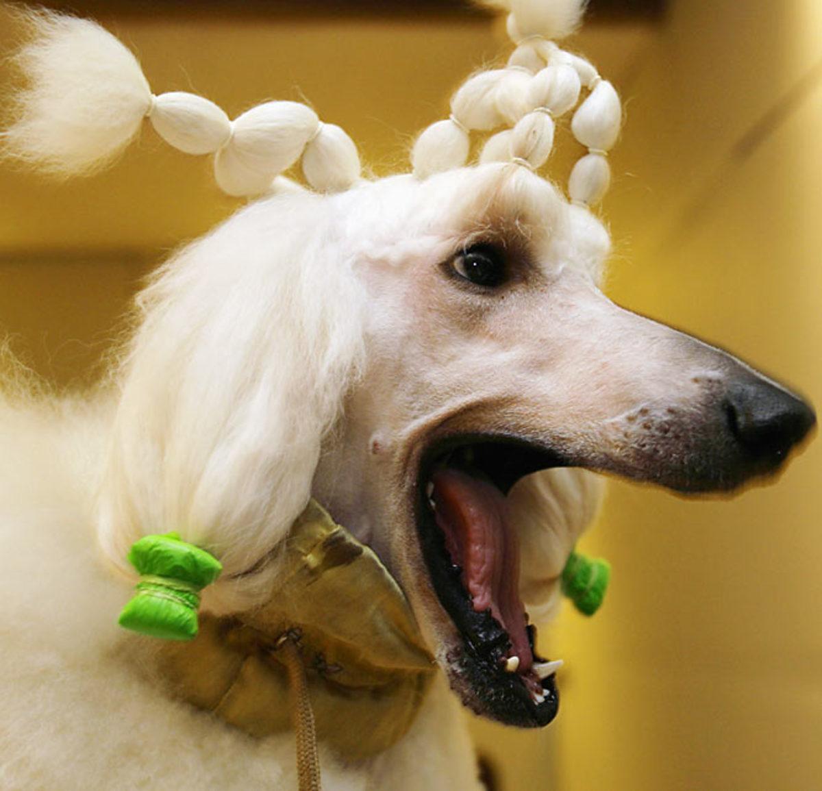 Bert, a Standard Poodle