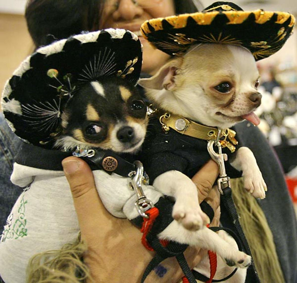 Tequila (left) and Tabasco, Chihuahuas