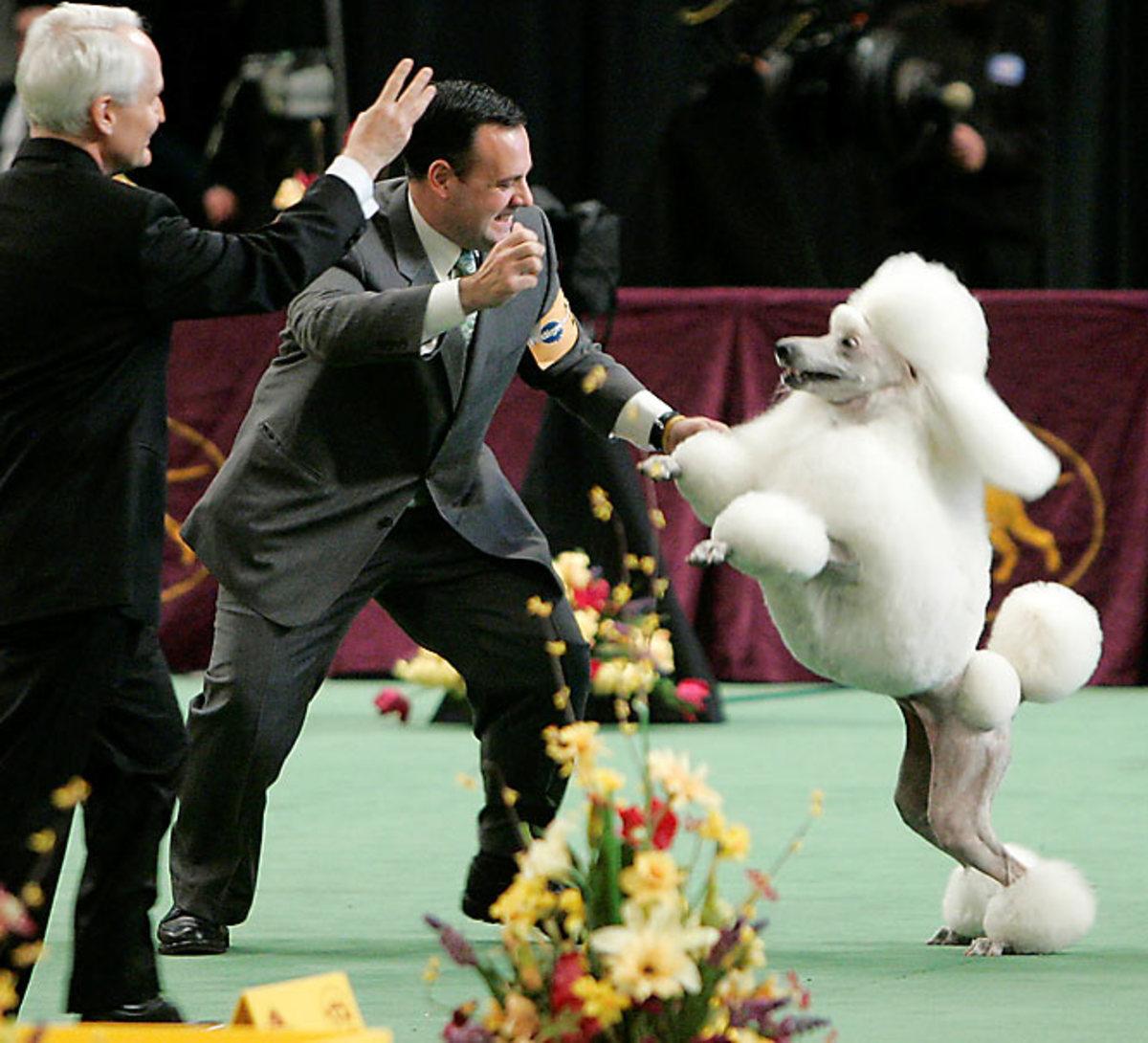 Remy, a standard poodle.