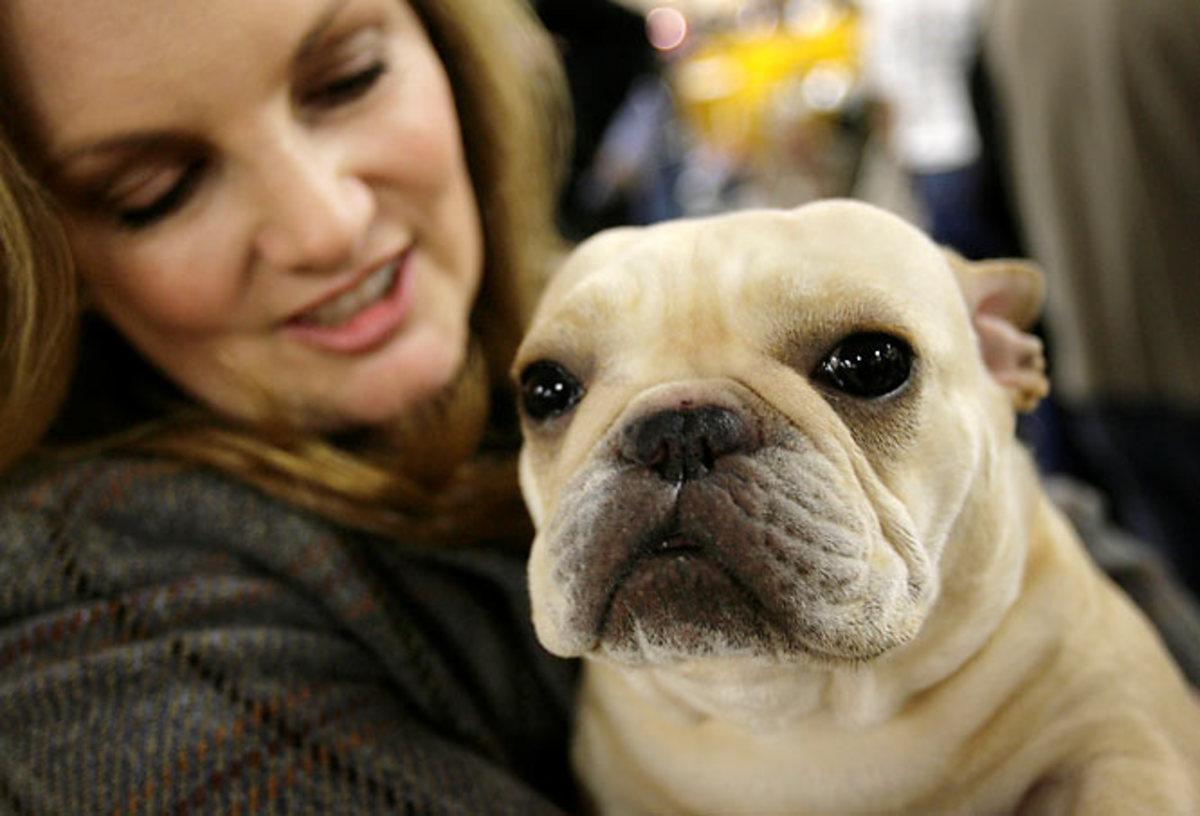 Diva, a French bulldog