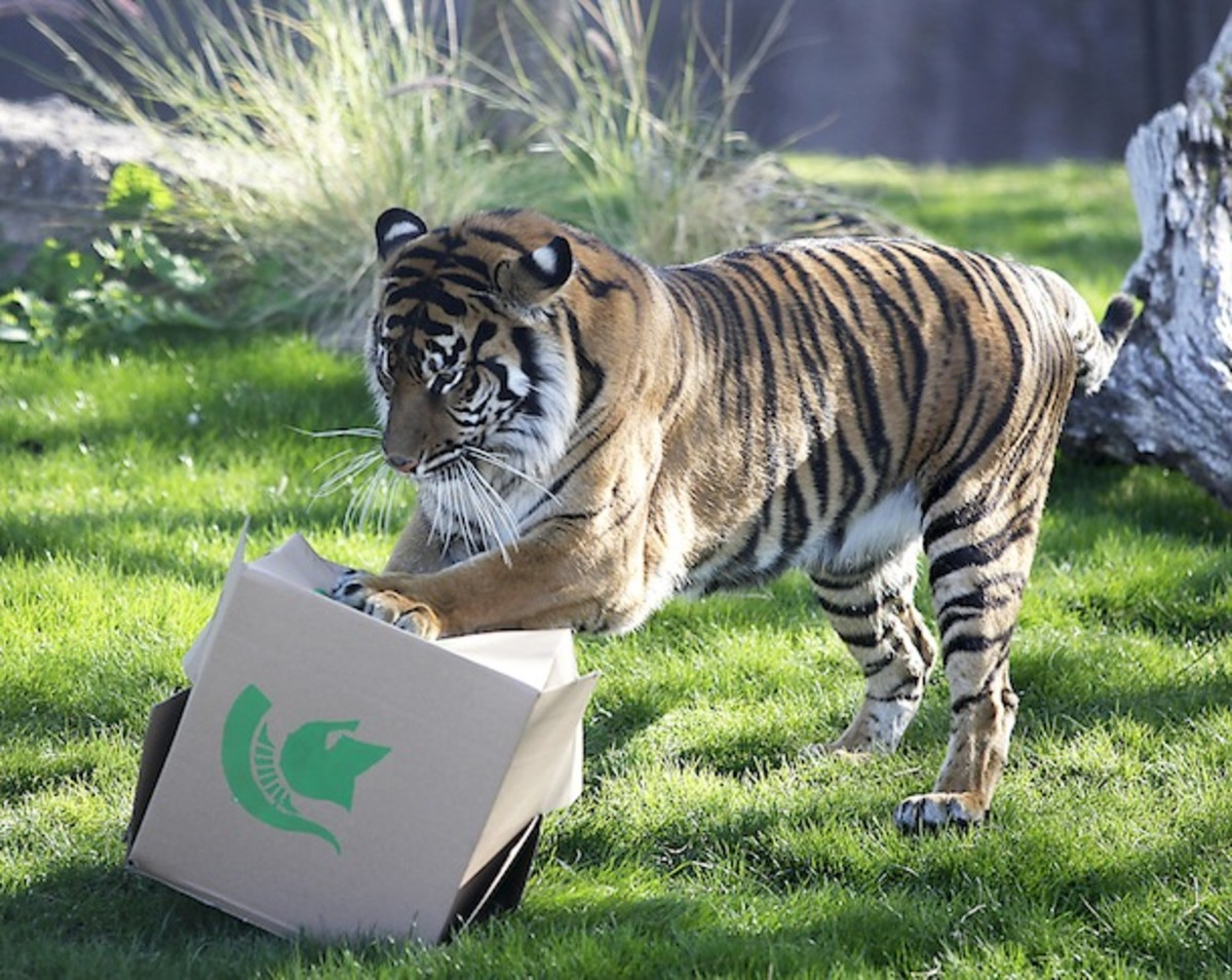She's no Paul the Psychic Octopus (RIP), but we can't faul the Phoenix Zoo's Sumatran tiger, Hadiah, in predicting the winner of the first-ever Buffalo Wild Wings Bowl. (AP)