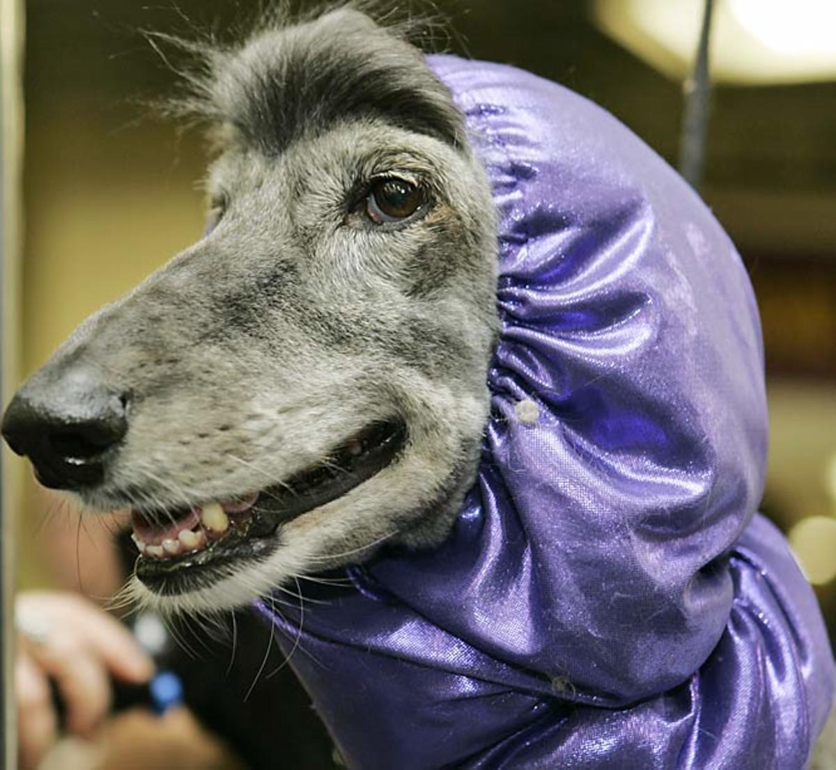Ego, an Afghan hound