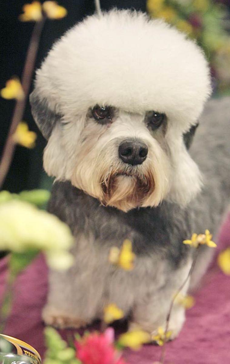 "Hobergays Fineus Fogg or ""Harry"", a Dandie Dinmont Terrier"