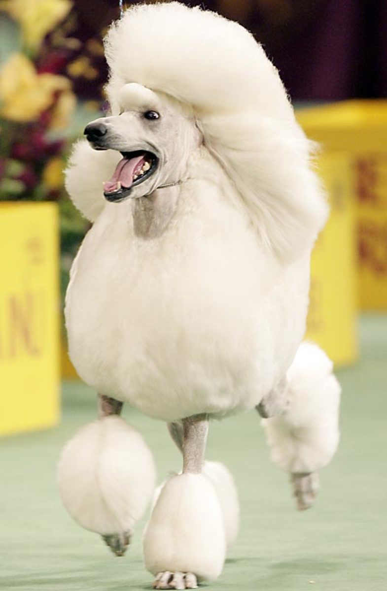 Brighton Minimoto, a Standard Poodle